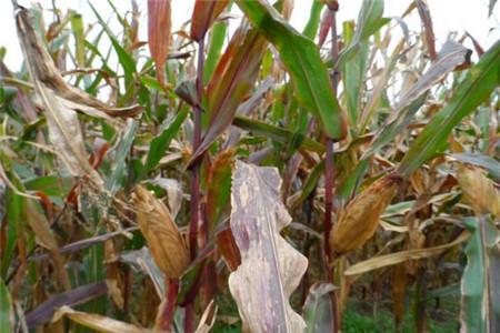 科学种玉米的方法图解
