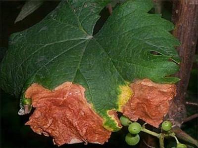 葡萄缺钙叶子干枯
