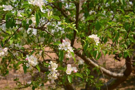 苹果树开花施肥