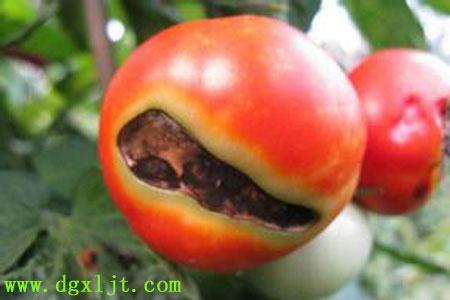 番茄缺钙导致脐腐病