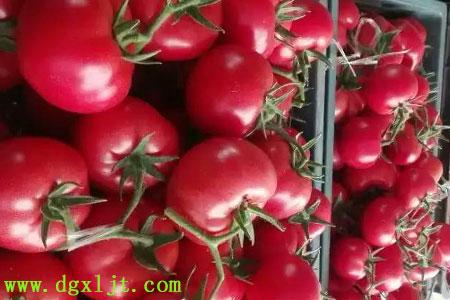 番茄增施钙肥的效果