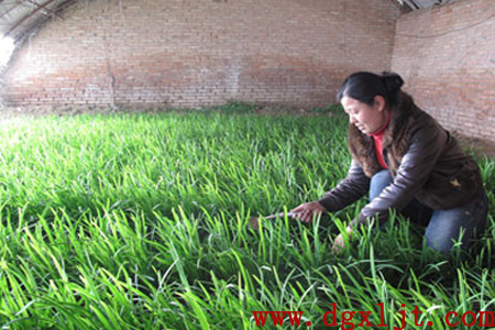 韭菜收割期万万博体育官网肥用法