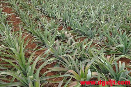 菠萝幼苗期万万博体育官网肥使用技术