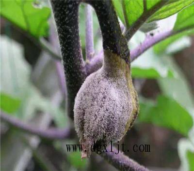 茄子灰霉病防治方法